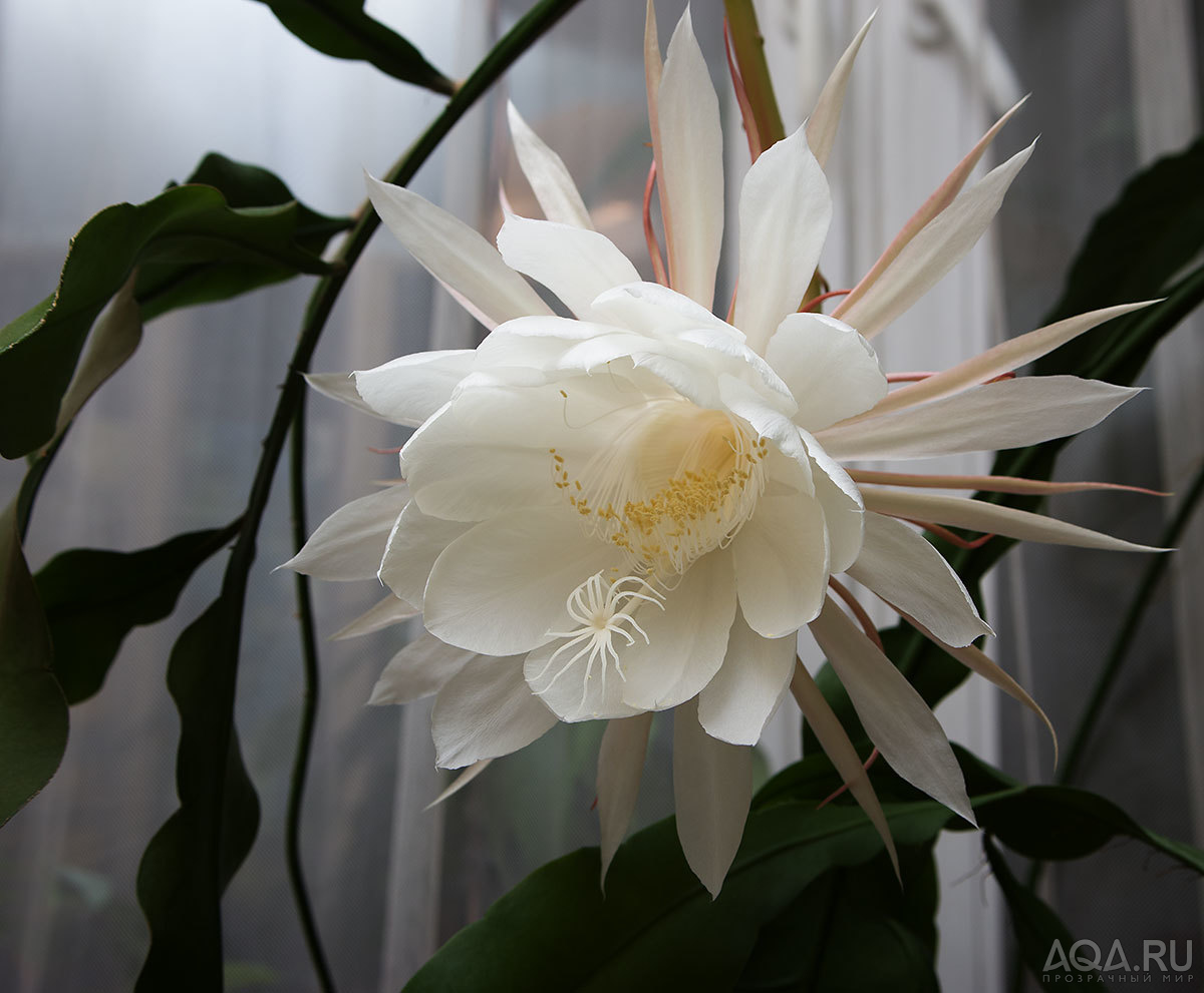 Цветок кактуса расцвел совсем
