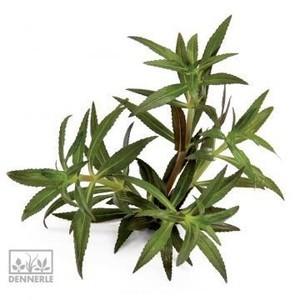 Неизвестное длинностебельное растение