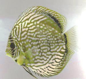 Symphysodon aequifasciatus alexrodi