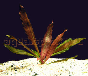 Эхинодорус флоренс echinodorus florens