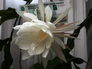 Цветок кактуса, сравнительный размер
