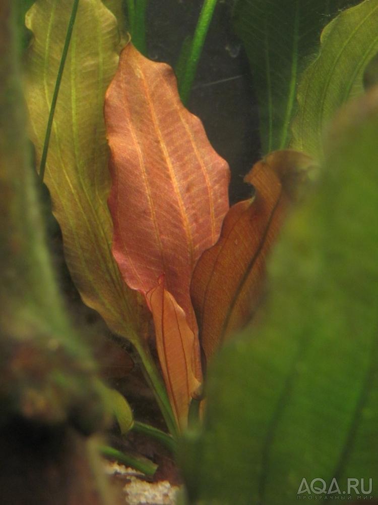 Эхинодорус розе фотографии с корнем