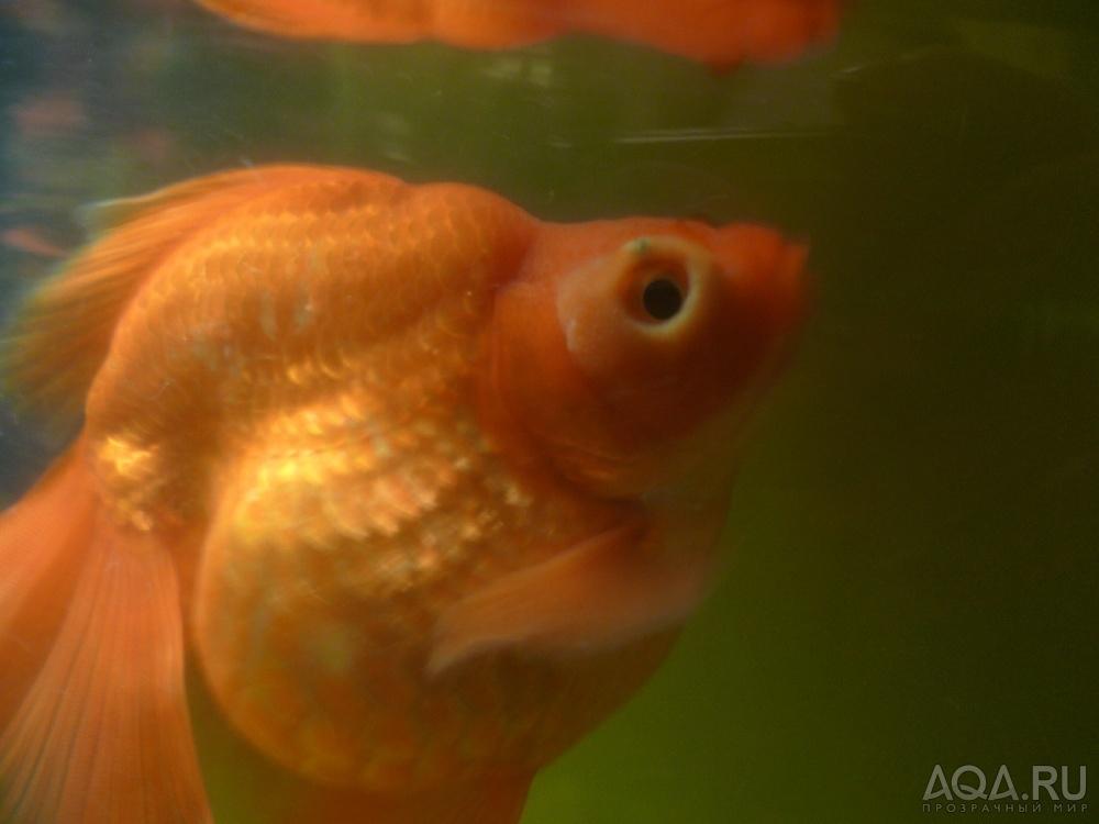 Золотая рыбка болезни в картинках
