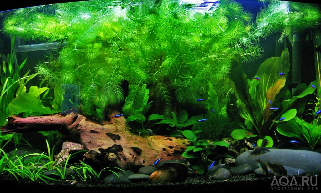 Роголистник в аквариуме как сажать фото