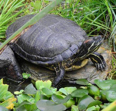 Красноухая черепаха на островке